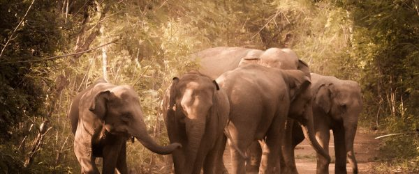 Elephants Returned to the Wild